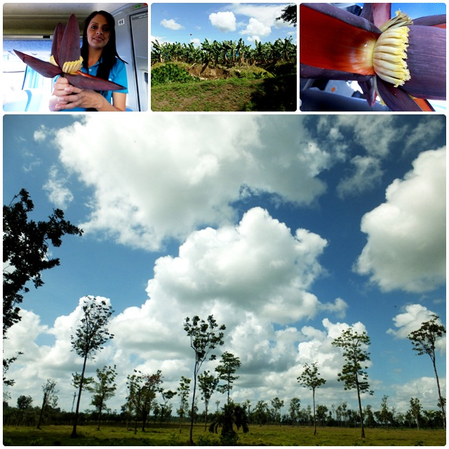 Landscapes of Limon province and a banana flower
