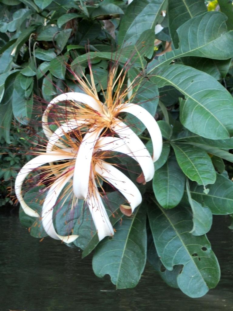 The beautiful pachira flower