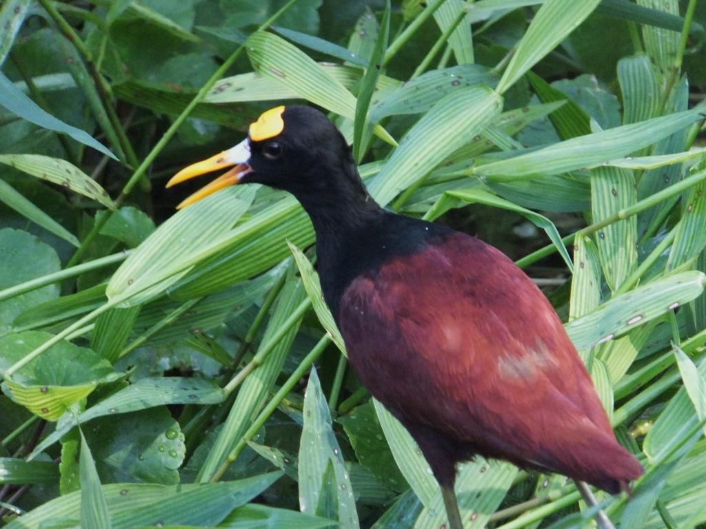 Northern jacana, a polyandrous bird