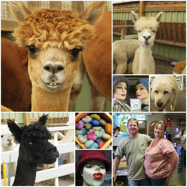 Beautiful animals at 1 Stop Alpaca